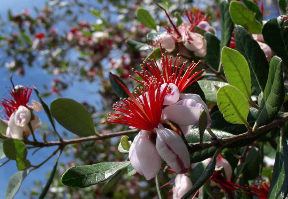 цветение фейхоа