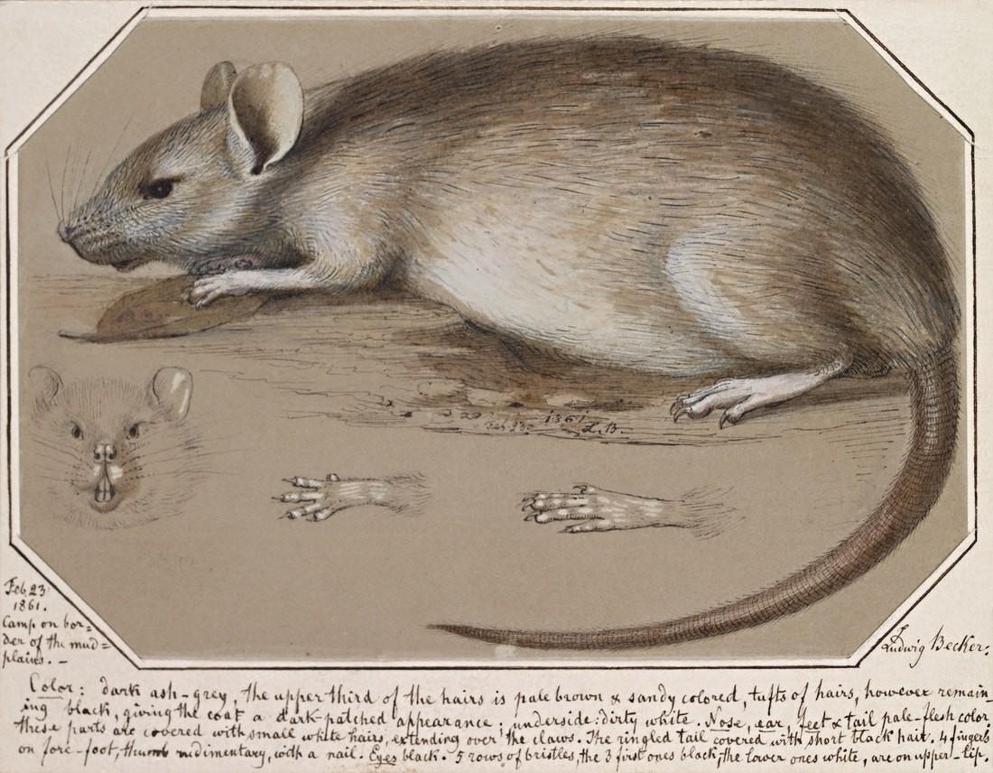 мышь чума