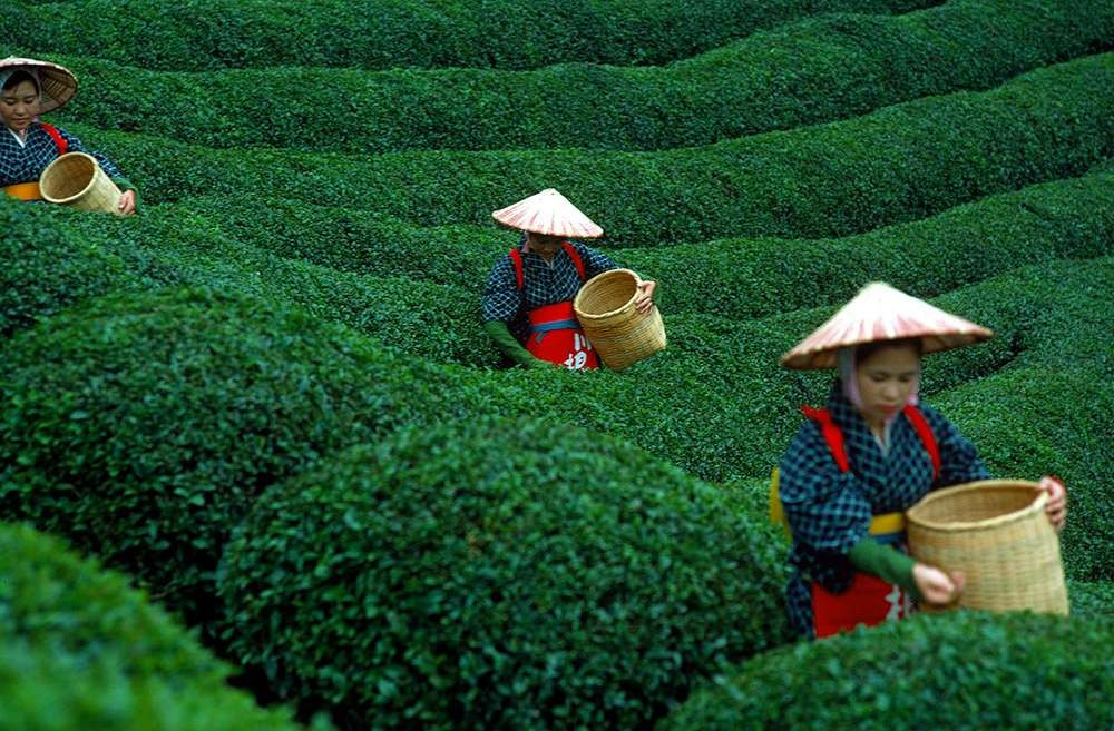 сбор зеленого чая